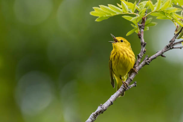 Yellow Warbler A Yellow Warbler sings its song on a summer morning in South-central, Alaska. songbird stock pictures, royalty-free photos & images