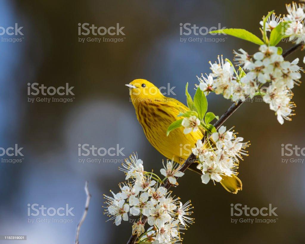 Gele zanger (Setophaga petechia) - Royalty-free Bloem - Plant Stockfoto
