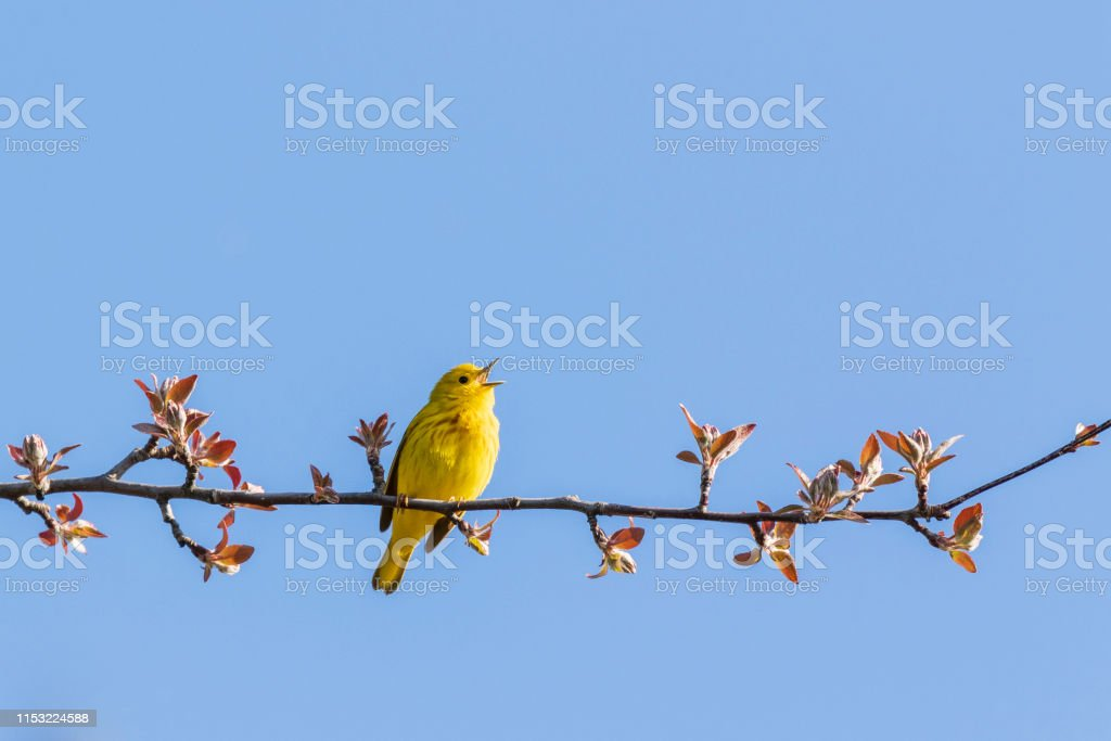 Gele zanger (Setophaga petechia) - Royalty-free Arboretum Stockfoto