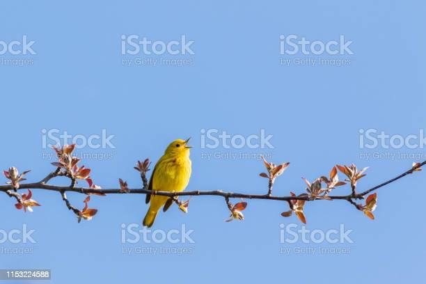 Gele Zanger Stockfoto en meer beelden van Arboretum