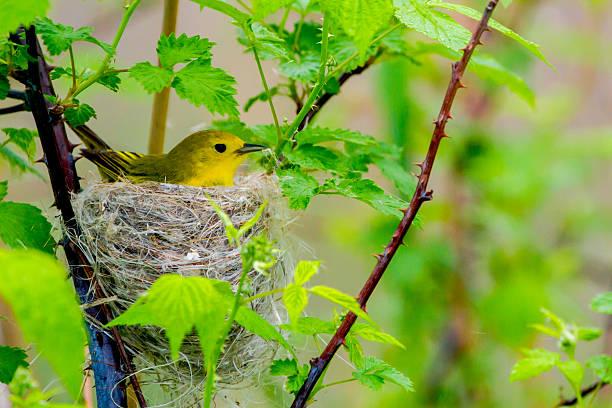 yellow warbler - setophaga stockfoto's en -beelden