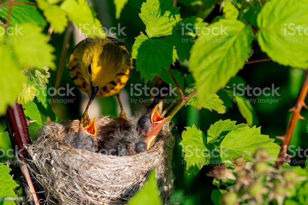 Yellow Warbler - Royalty-free 2015 Stockfoto
