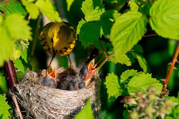yellow warbler - amerikaanse zangers stockfoto's en -beelden