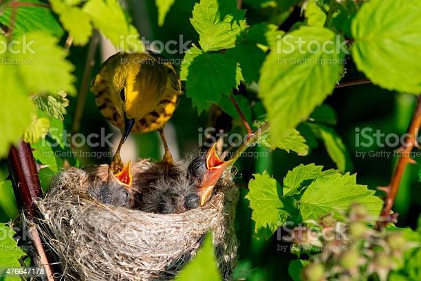 Yellow Warbler Stockfoto en meer beelden van 2015