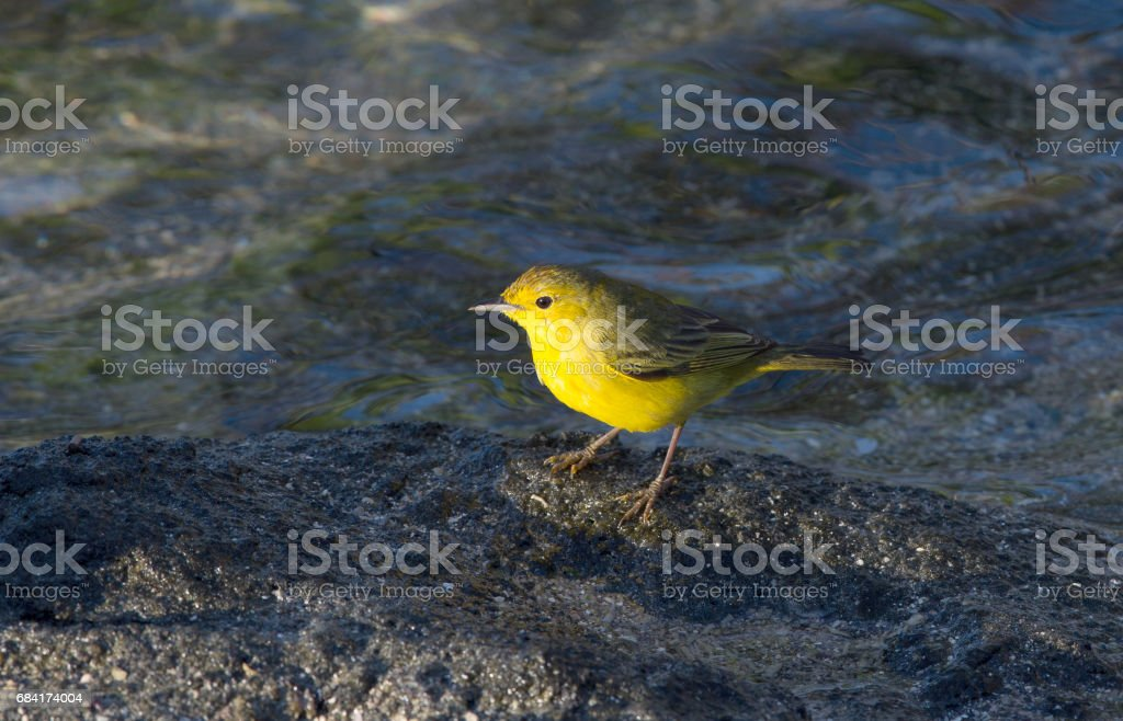 Yellow Warbler royalty-free stock photo