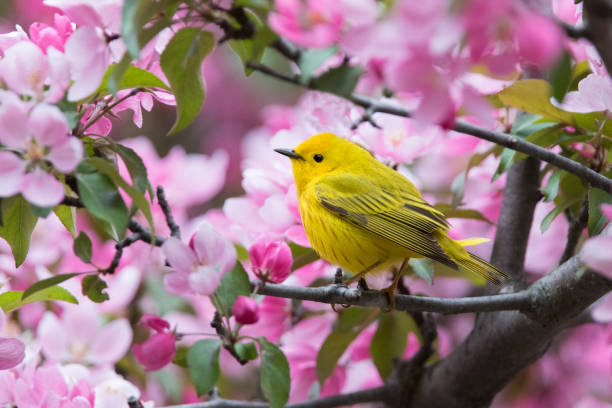 Yellow warbler Yellow warbler in blossom songbird stock pictures, royalty-free photos & images