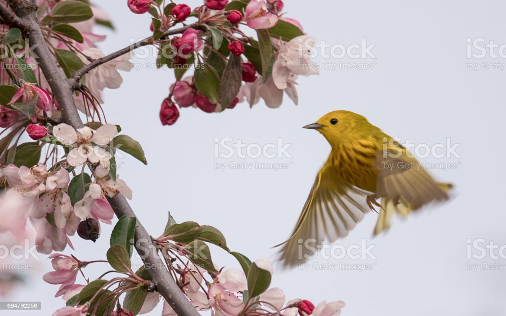 Yellow Warbler (Setophaga Petechia) stock photo