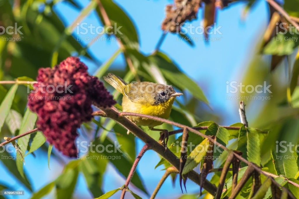 Yellow Warbler stock photo