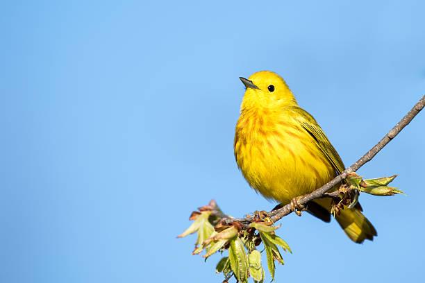 yellow warbler - setophaga petechia - setophaga stockfoto's en -beelden