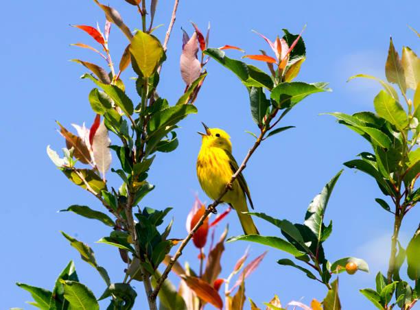 foto van de gele warbler stock - amerikaanse zangers stockfoto's en -beelden