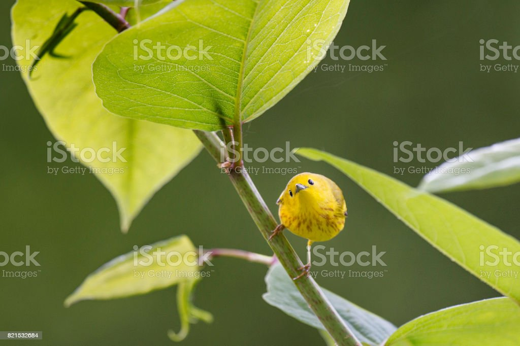 Yellow Warbler Surrounded by Leaves stock photo
