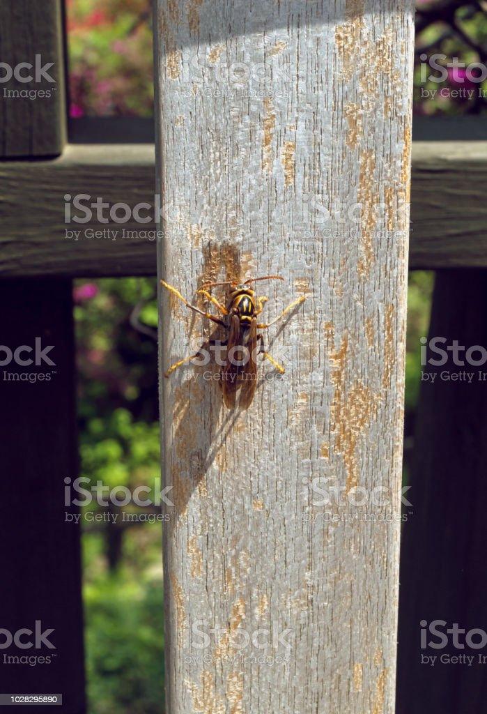 amarillo Avispa en la valla de madera en día soleado - foto de stock