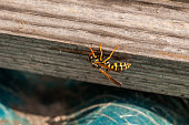 Yellow wasp  standing on tree