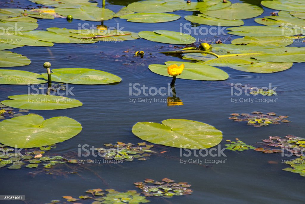 Yellow water flowers (Nuphar Lutea) stock photo