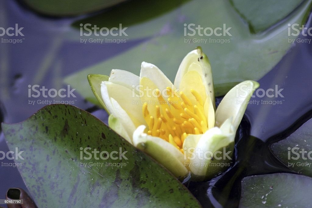 yellow water lilly royalty-free stock photo