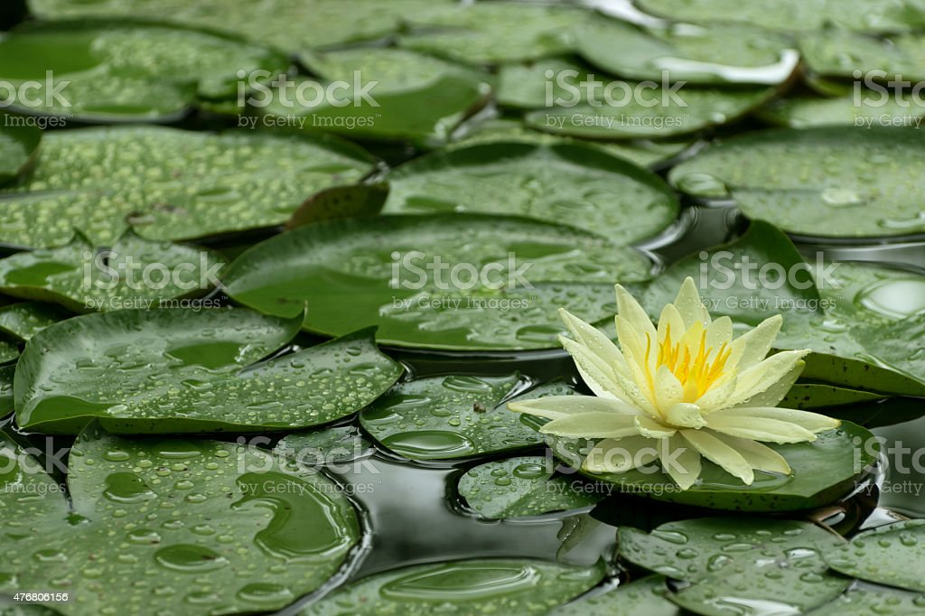 Yellow Water Lily after rain stock photo