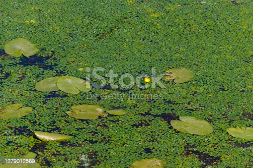 Yellow water lily and duckweed in a lake