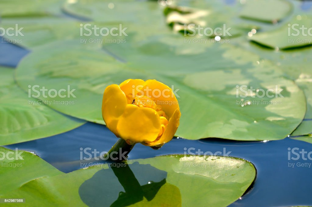Yellow water lily spatter-dock among green leaves stock photo