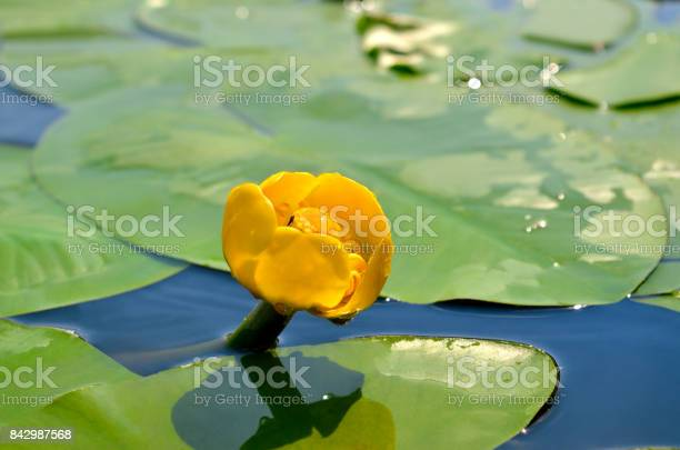 Photo of Yellow water lily spatter-dock among green leaves