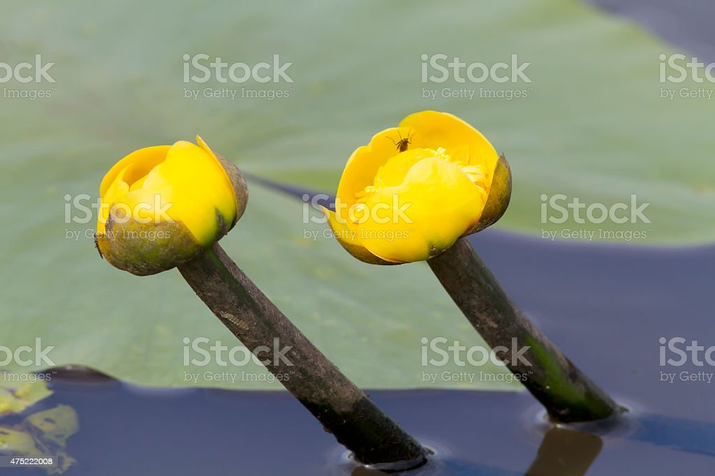 Yellow Water-Lily (Nuphar lutea) Flower in Close-Up stock photo