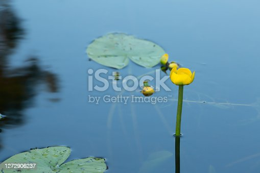istock Yellow water-lily, Nuphar lutea in calm water 1272906237
