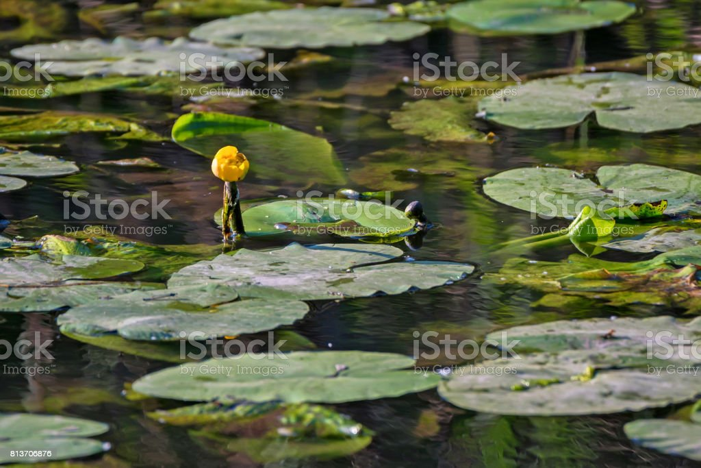 Yellow water-lily or Nuphar lutea blossoms in lake stock photo