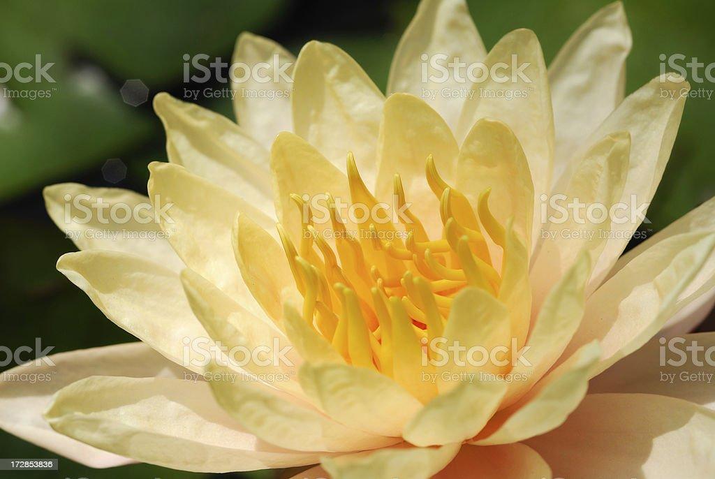 Yellow waterlily royalty-free stock photo