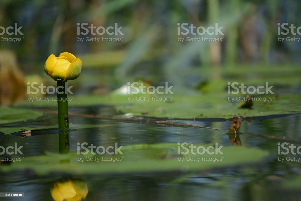 Yellow Water-lily stock photo