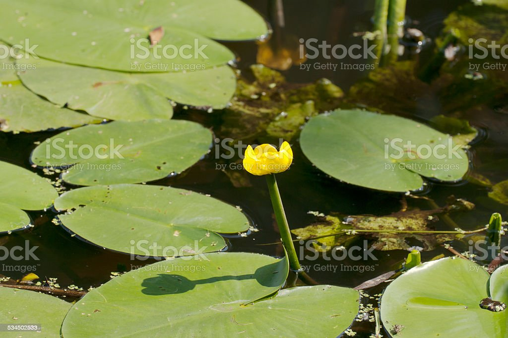 Yellow Water-Lily (Nuphar lutea) stock photo