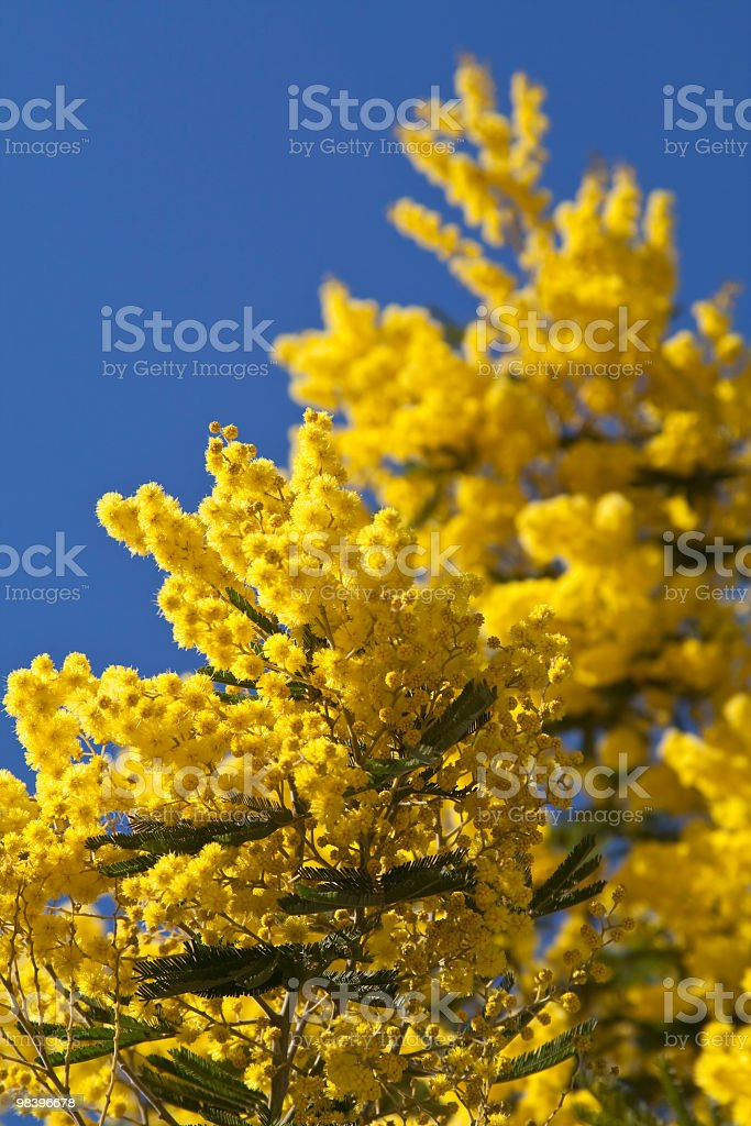 Yellow wattle branch in bloom against the sky royalty-free stock photo