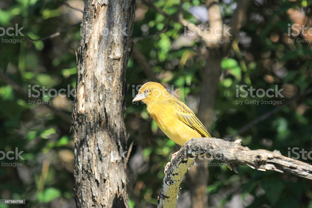 Yellow Weaver in Royal Natal National Park, South Africa royalty-free stock photo