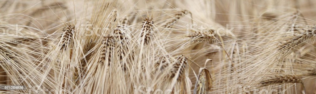 yellow wheat ears in the field cultivated stock photo