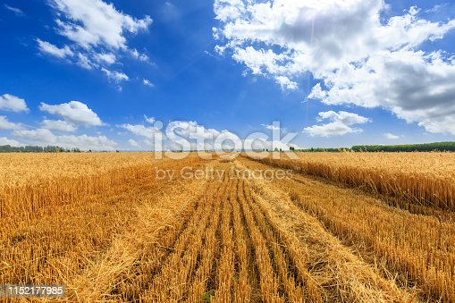 Yellow wheat field and blue sky,agricultural scene