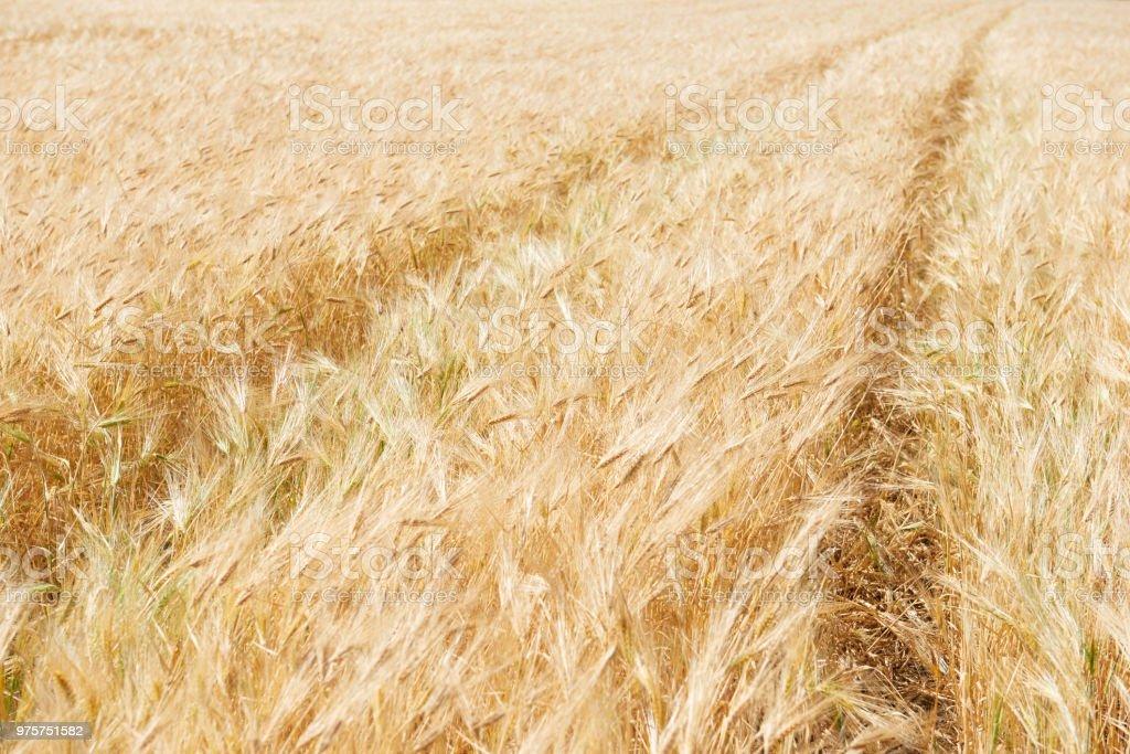 Gelbe Weizenfeld und klaren Himmel ist in den sonnigen Tag, schöne Sommerlandschaft - Lizenzfrei Blau Stock-Foto