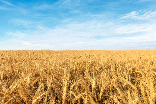 Yellow wheat field Yellow wheat field and blue sky wheat stock pictures, royalty-free photos & images