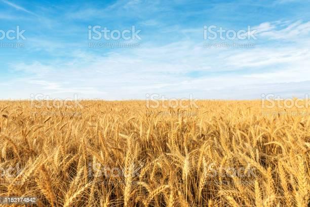 Photo of Yellow wheat field