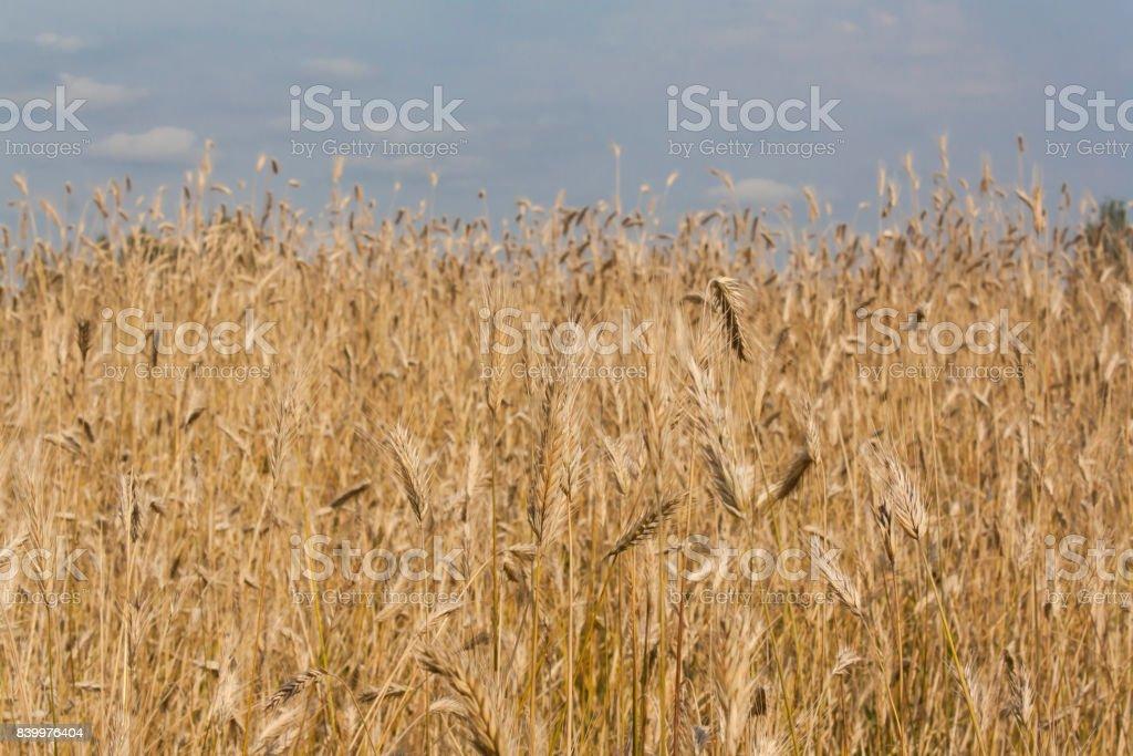 yellow wheat field stock photo