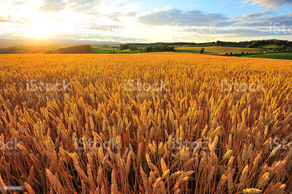 Yellow Wheat Fields at Sunset stock photo