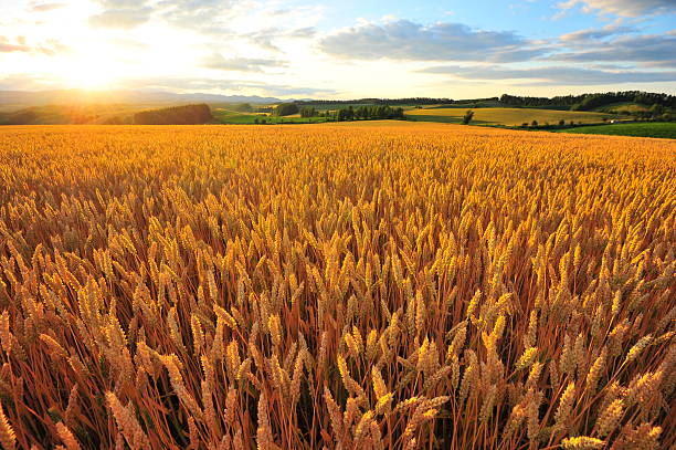 yellow wheat fields at sunset - field stock photos and pictures