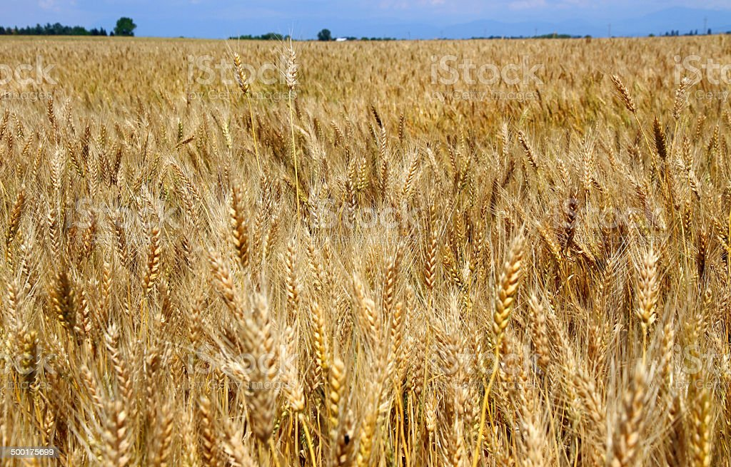 Yellow wheat stalks are ready to be harvested in summer stock photo
