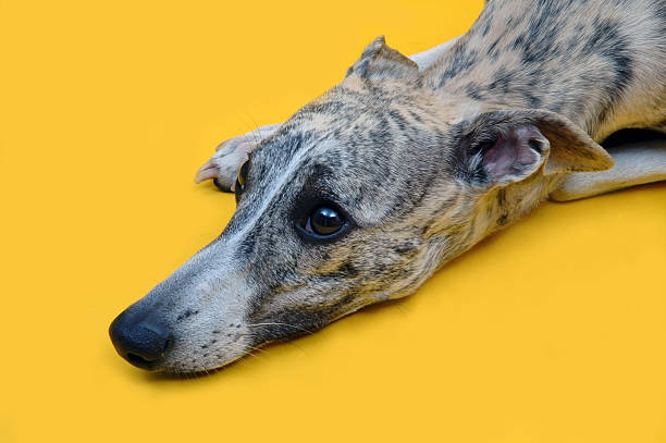 Yellow whisky Girl Whippet whippet stock pictures, royalty-free photos & images