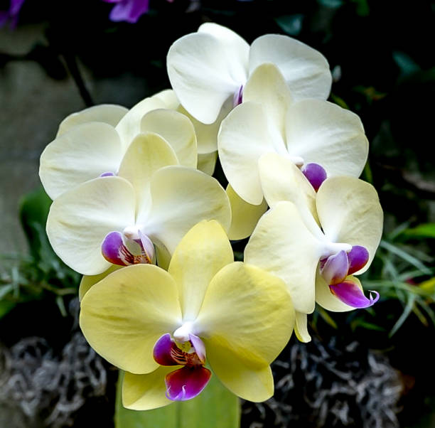 Yellow, White and Purple Orchid stock photo