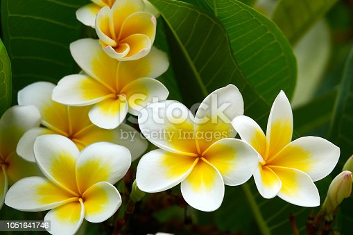 Yellow white flower blossoms from above, frangipani