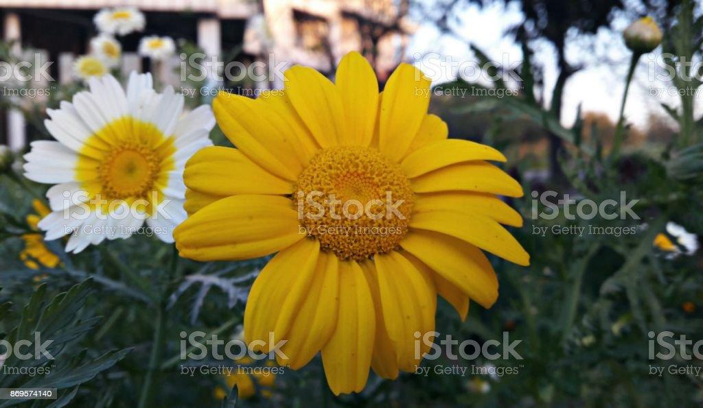 Yellow white Flowers stock photo