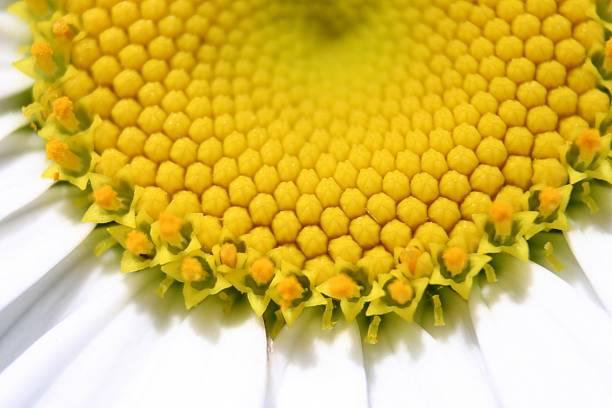 yellow white umble, nahaufnahme - herpens stock-fotos und bilder