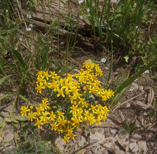Yellow wild daisy cluster stock photo