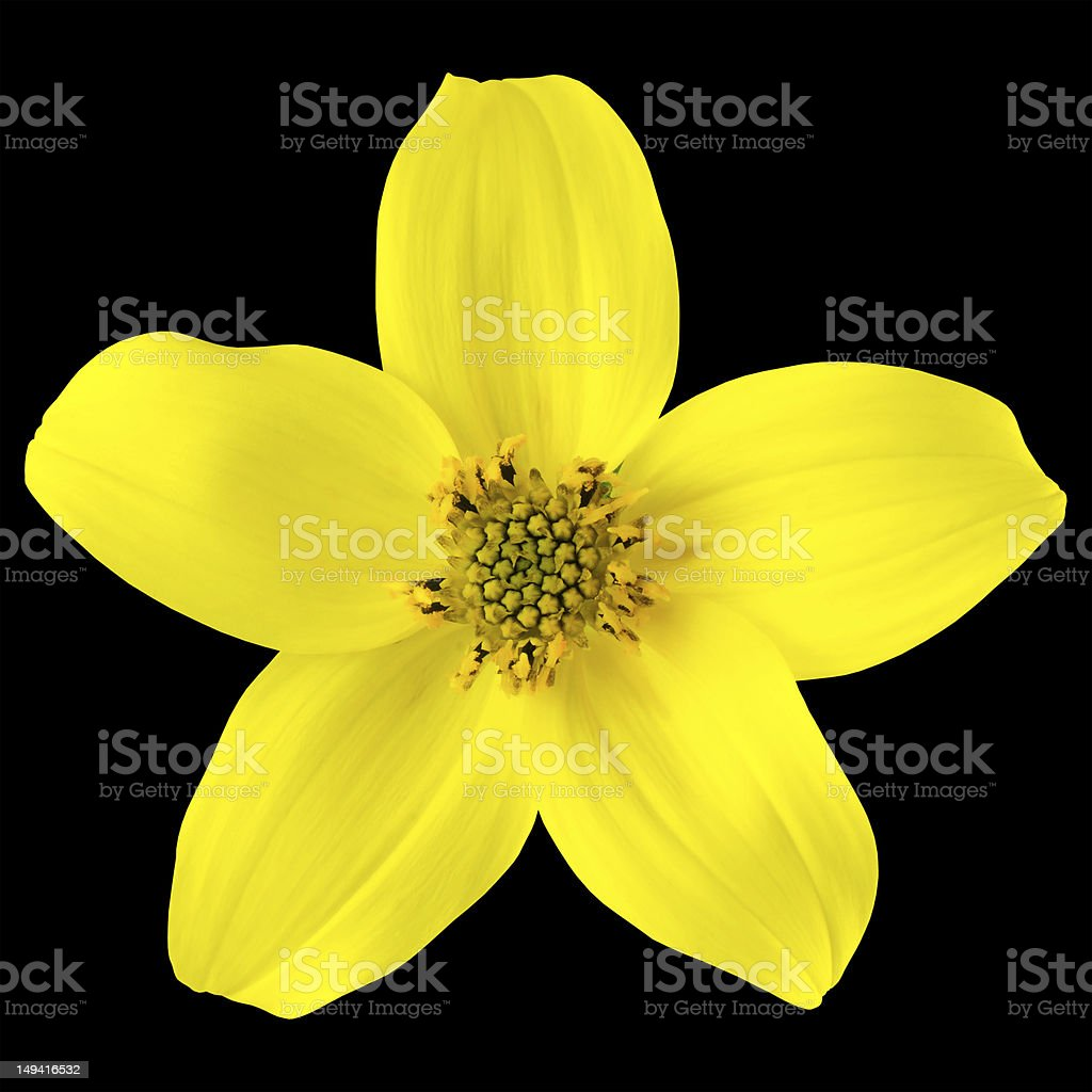 Yellow wild flower with five petals isolated on black stock photo yellow wild flower with five petals isolated on black royalty free stock photo mightylinksfo