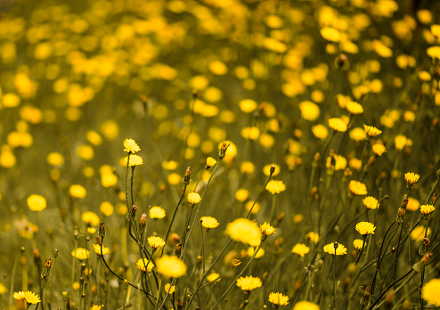 field of small yellow wild flowers