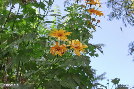 Yellow wild sunflower blooming on the tree, india