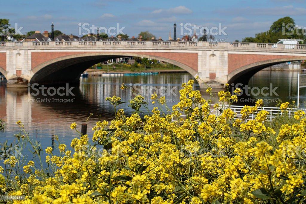 Yellow wildflower crucifer near Hampton Court Bridge stock photo